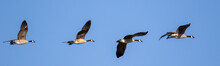 Line Of Canada Geese Flying Wi...