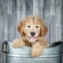 Adorable Goldendoddle Puppy