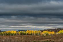 Line Of Yellow Birch Trees Und...