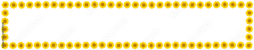 Panoramic frame of sunflower flowers on isolated white background. View from above.