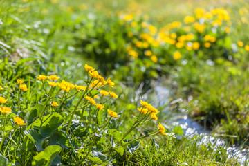 Sumpfdotterblumen und kleiner Gebirgsbach