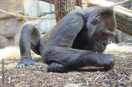 Fotografía Western lowland gorilla (Gorilla gorilla gorilla)