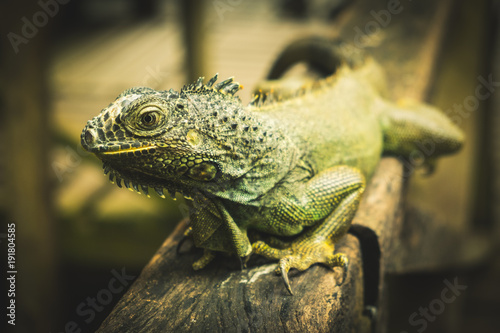 iguana-swiata