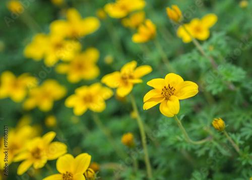 Little Yellow Flower In Garden Kaufen Sie Dieses Foto Und Finden