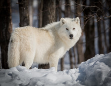 Lonely Arctic Wolf - Canis Lup...