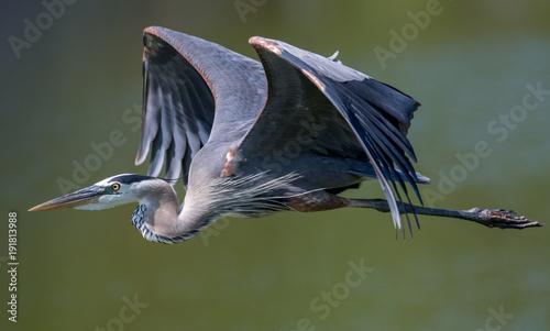 Stampa su Tela Great Blue Heron
