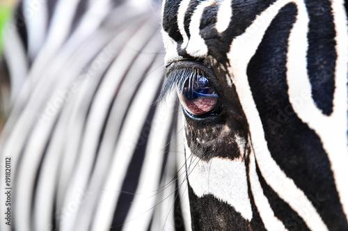 Fototapeta zebra, obraz