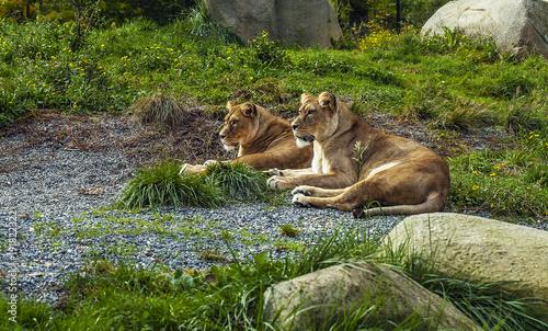 Deux lionnes se reposant sur l'herbe d'un parc animalier