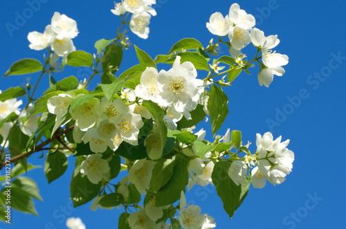 Photo  Branch Flowering Jasmine (lat
