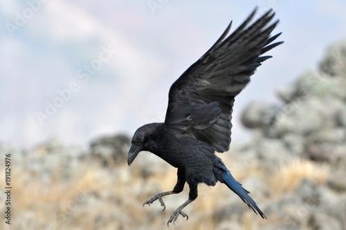 Fototapeta Common raven (Corvus corax)