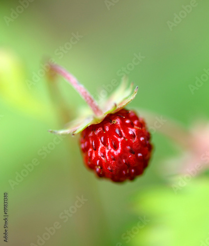 Foto op Plexiglas Noord Europa Woodland strawberry (Fragaria vesca), Northern Hemisphere species
