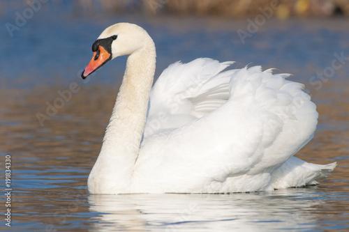 Foto op Plexiglas Zwaan Mute Swan