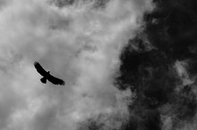 A Solitary Eagle Flies High In...