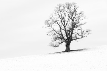 Fototapeta na wymiar Single tree in a snow white English landscape