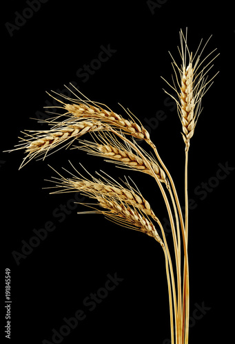 Spikelets of wheat on a black background