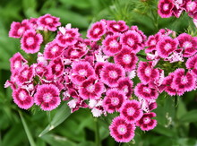 Bright Pink Sweet William Flow...
