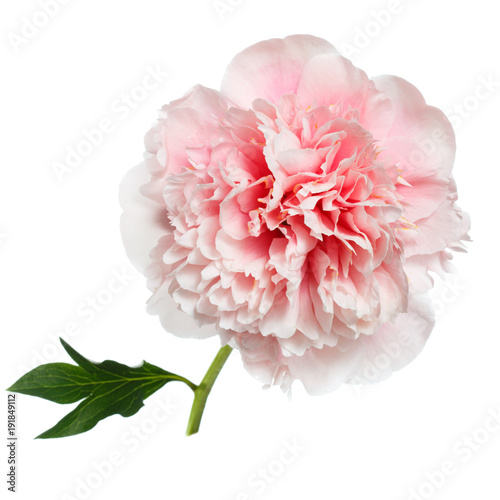 Beautiful gently pink peony isolated on white background.