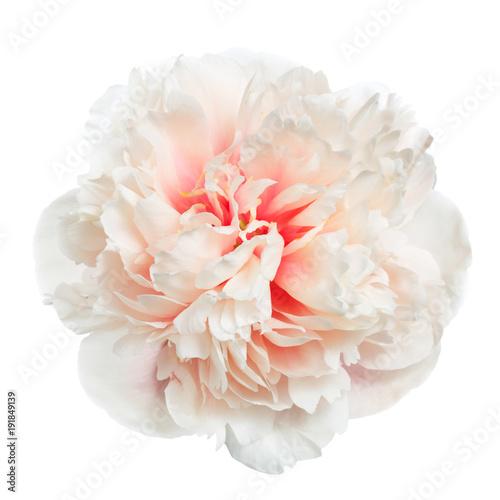 Beautiful gently pink peony isolated on white background.