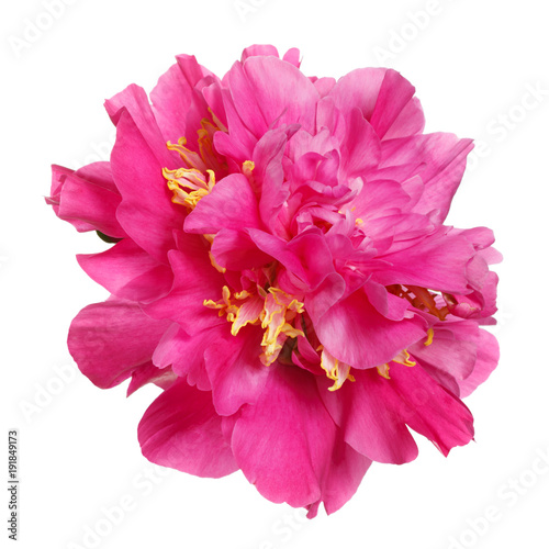 Tuinposter Gerbera Beautiful pink peony isolated on white background.
