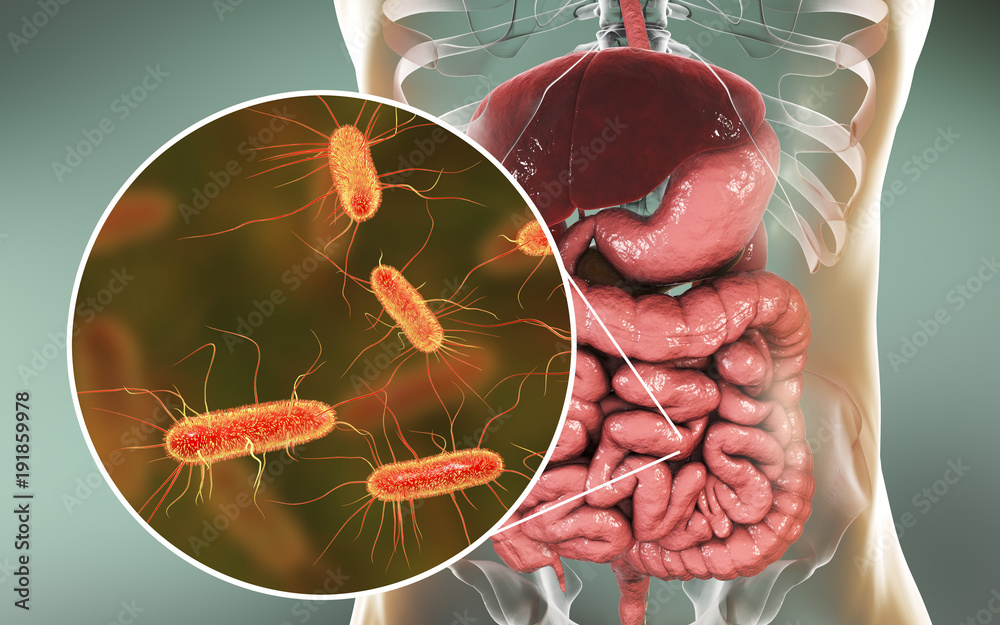 Fototapeta Intestinal microbiome, 3D illustration showing anatomy of human digestive system and enteric bacteria Escherichia coli, E. coli, colonizing jejunum, ileum, other parts of intestine. Gut normal flora