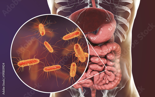 Intestinal microbiome, 3D illustration showing anatomy of human digestive system and enteric bacteria Escherichia coli, E Poster Mural XXL