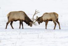Males Elk, Or Wapiti (Cervus C...