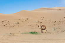 Desert Landscape With Baby Cam...