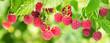 Leinwandbild Motiv branch of ripe raspberries in a garden