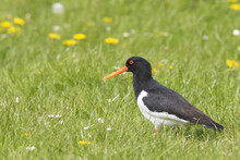 Eurasian Oystercatcher (Haematopus Ostralegus) Perched In A Green And Blooming Meadow.