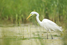Great Egret Ardea Alba Waterfowl Hunting In Wetlands
