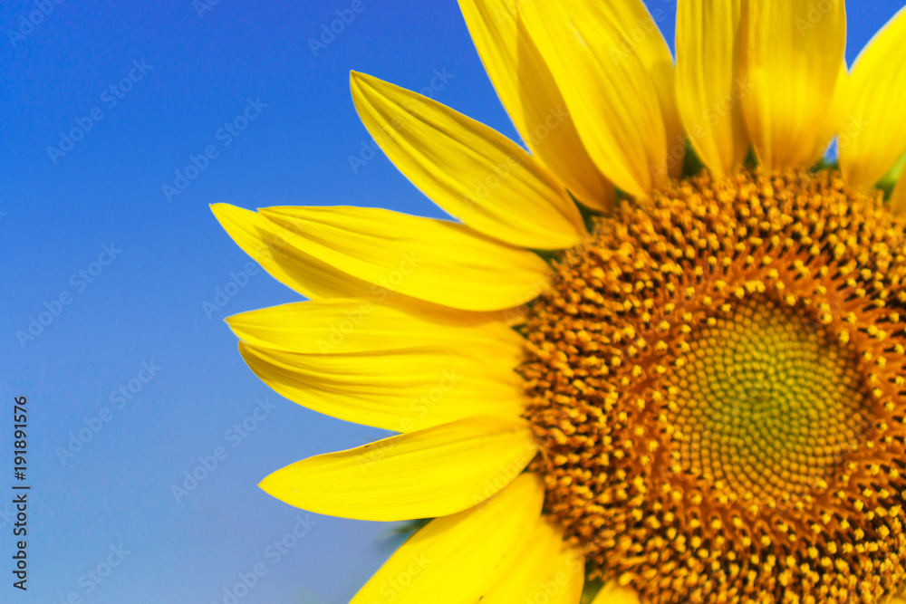 Close-up of Beautiful sunflower blossom on blue sky