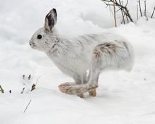 Snowshoe Hare Running