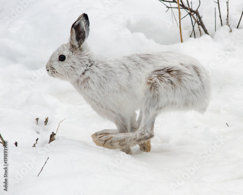 Canvas Print Snowshoe hare running