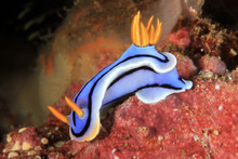 Chromodoris Sp. Nudibranch. An...