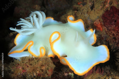 Door stickers Under water Egret Nudibranch (Ardeadoris egretta). Anilao, Philippines
