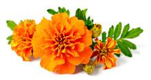 Fresh Orange Marigold Flowers Isolated On White