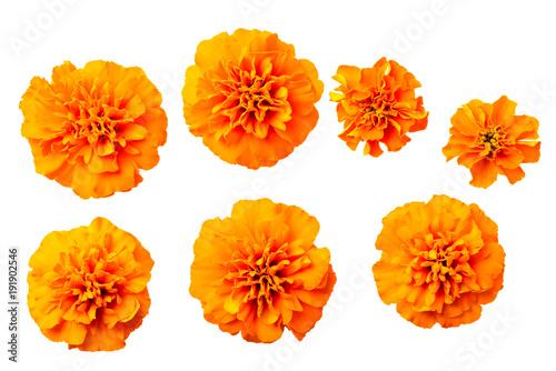 Fotografía  fresh orange marigold flowers isolated on white, top view
