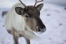 Reindeer, Rangifer Tarandus, G...