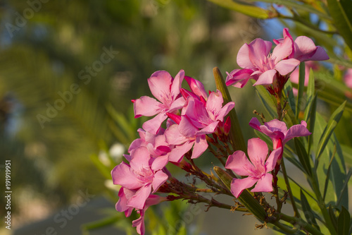 pink nerium oleander buy this stock photo and explore similar