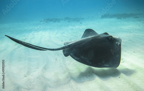 An adult southern stingray (Dasyatis americana) swimming above a sandy ocean floor in the Caribbean Sea Canvas Print