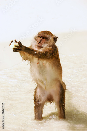 Crab-eating macaque for food at the beach on Phi Phi Don Island, Krabi Province, Poster