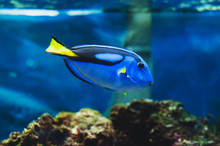 Fish Blue Surgeonfish Paracant...