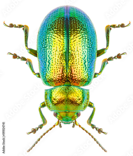 Foto Leaf beetle Chrysolina graminis isolated on white background, dorsal view of beetle
