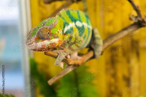 Staande foto Kameleon chameleon on branch