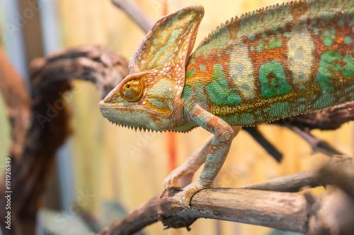 Spoed Foto op Canvas Kameleon chameleon on branch