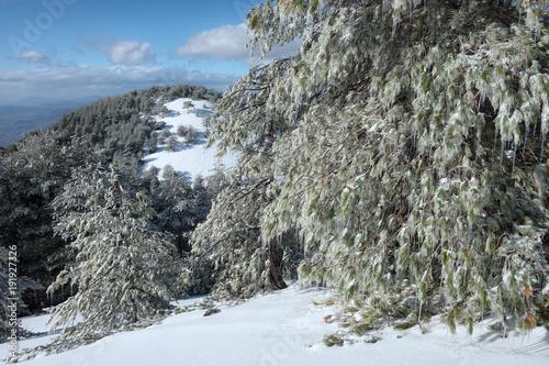 Pines Trees With Icicles In Etna Park, Sicily Tapéta, Fotótapéta