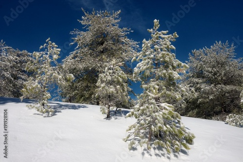 Fényképezés  Pines Trees With Icicles In Etna Park, Sicily