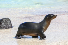 Galapagos Sea Lion At The Beac...