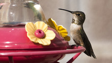 Allen's Hummingbird Perched On...