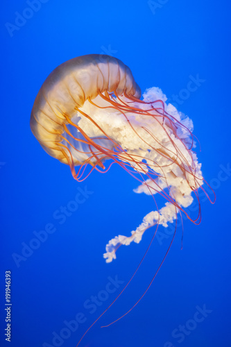 Orange jellyfish (Chrysaora fuscescens or Pacific sea nettle) in blue ocean wate Tableau sur Toile